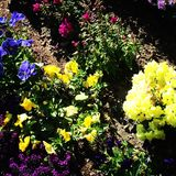 Spring flowers. Colorful spring flowers royalty free stock image