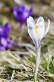 Spring ,  flowers, colorful crocuses blooming Royalty Free Stock Photography