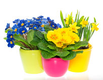 Spring flowers in colorful pots on white Stock Photos