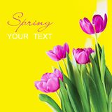 Spring flowers - colorful tulips Royalty Free Stock Image