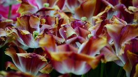 Spring flowers: colourful tulips close up Royalty Free Stock Images