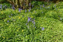 Spring flowers - bluebells and celandines in woodland royalty free stock photography