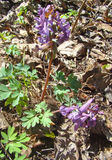 Spring flowers. Corydalis cava Stock Photo