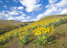 Spring flowers cover a hillside with yellow Stock Images