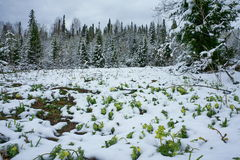 Spring flowers covered with snow. Spring flowers covered with snow in a forest Royalty Free Stock Photos