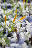 Spring flowers covered in snow Stock Photos