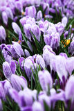 Spring flowers, crocus Royalty Free Stock Images