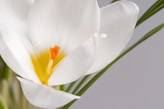 Spring flowers of crocus close-up. Royalty Free Stock Images
