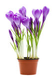 Spring flowers, crocus, isolated Royalty Free Stock Photo