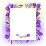 Spring flowers crocus natural background Stock Image