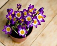 Spring flowers Crocus in the pot Stock Photos