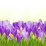 Spring flowers crocus seamless pattern horizontal Stock Image