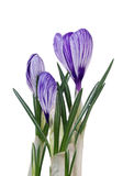 Spring flowers crocus on white background Royalty Free Stock Photography