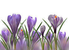 Spring flowers Crocus Royalty Free Stock Images
