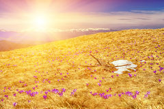 Spring flowers (crocuses) in Carpathian mountains Royalty Free Stock Image