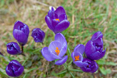 Spring flowers - crocuses Stock Image