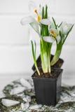 Spring flowers crocuses Stock Photography