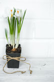 Spring flowers crocuses. Spring flowers white Crocuses in a little black pot on white wooden background, concept of spring and flowers Royalty Free Stock Photo