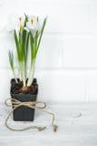 Spring flowers crocuses Royalty Free Stock Photo