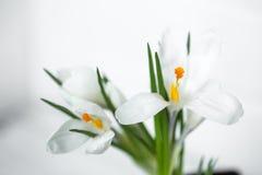 spring flowers crocuses Royalty Free Stock Image