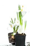 spring flowers crocuses Stock Photo