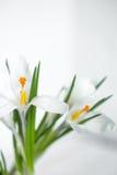 spring flowers crocuses Stock Images