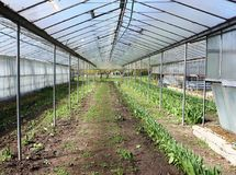 Spring, flowers cultivation in greenhouse Stock Photo