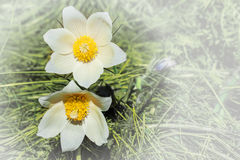 Spring flowers cutleaf anemone Stock Photo