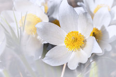 Spring flowers cutleaf anemone Stock Images