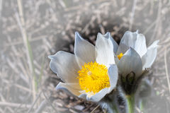 Spring flowers cutleaf anemone Royalty Free Stock Photo