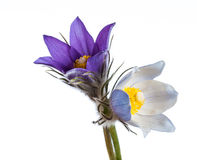 Spring flowers cutleaf anemone Royalty Free Stock Images