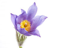Spring flowers cutleaf anemone Royalty Free Stock Photos