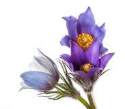 Spring flowers cutleaf anemone Royalty Free Stock Image