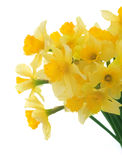 Spring Flowers.Daffodil Royalty Free Stock Photos