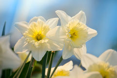 Spring flowers daffodil. Close up Royalty Free Stock Images