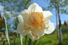 Spring flowers: daffodil Stock Photography
