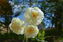 Spring flowers: daffodil Winston Churchill Stock Photos