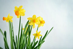 Spring flowers  daffodils Royalty Free Stock Images