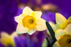 Spring flowers daffodils. Close up Royalty Free Stock Photo