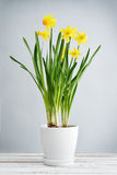 Spring flowers  daffodils Royalty Free Stock Photos