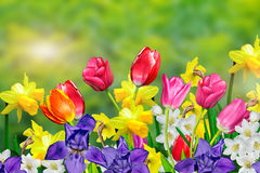 Spring flowers. Daffodils and tulips Royalty Free Stock Image