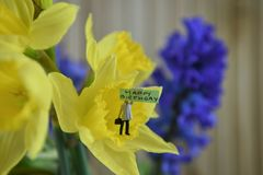 Spring flowers of daffodils with words or text for happy birthday. Springtime flowers of bright yellow daffodils and background blue hyacinths. With a cute stock images