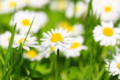 Spring flowers daisies on a sunny day Stock Photography