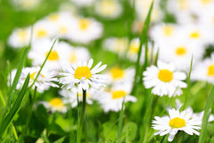 Spring flowers daisies on a sunny day Royalty Free Stock Images