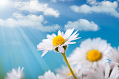 Spring flowers - daisy Royalty Free Stock Images