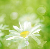 Spring Flowers Daisy And Grass With Sunlight Royalty Free Stock Photos