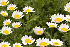 Spring flowers daisy background against foliage Royalty Free Stock Photo