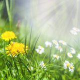 Spring flowers of dandelion and daisies in green grass Royalty Free Stock Image