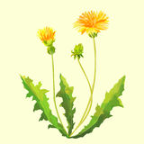 Spring flowers dandelions. For decoration Royalty Free Stock Photography