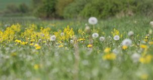 Spring flowers dandelions in meadow, springtime scene. Spring meadow with blooming dandelions, green grass and voices of birds. Tranquil rural countryside stock video